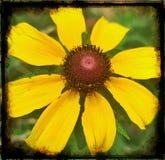 Sunshine Daisy Stock Image