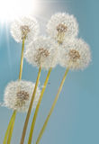 Sunshine Dandelions Royalty Free Stock Photo