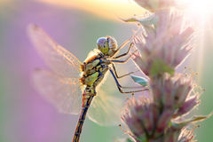 Sunshine Darter Stock Photography