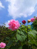 Sunshine day. Colorful flowers under the blue sky in Thailand Royalty Free Stock Images
