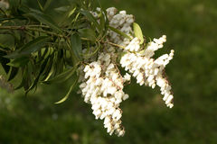 Sunshine on early spring pieris Stock Images