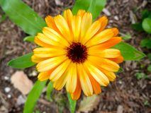 Sunshine flower. Bright blooms brighten the gardens at rushcliffe country park Stock Photography