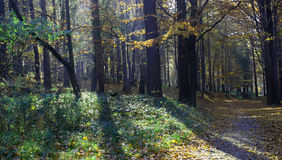 Sunshine in the forest Royalty Free Stock Image