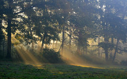 Sunshine and forest Royalty Free Stock Images