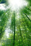 Sunshine in the forest. Sun piercing through the foliage in the forest Stock Image