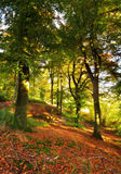 Sunshine in the forest in autumn Royalty Free Stock Image