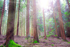 Sunshine in the forest. Royalty Free Stock Images
