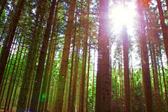 Sunshine in the forest. Stock Image