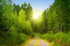 Sunshine in the forest. Royalty Free Stock Image