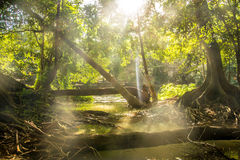 Sunshine of forest. Forest is sunshine bright stock photo