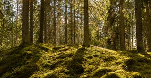 Sunshine on the forest moss. Sunshine on the green forest moss stock photo