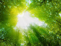 Sunshine in the forest. Sunshine on forest road.Sun rays in beech forest Stock Photography