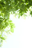 Sunshine go through green leaf Stock Image