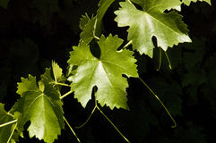 Sunshine on Grape Leaves Stock Image
