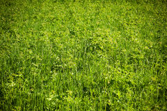 Sunshine grass Stock Image