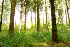 Sunshine in the green forest. Royalty Free Stock Photo