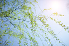 Sunshine with green tree branch Royalty Free Stock Images