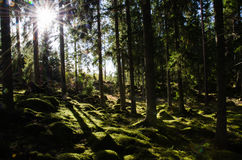 Sunshine i a green mossy forest. Sunshine in a green mossy coniferous forest with mossy rocks on the ground Royalty Free Stock Photography