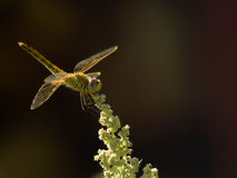 Sunshine on a landed Dragonfly. A dragon fly resting on a flower stem. Shallow DOF Stock Images