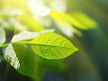 Sunshine leaf. Green leaf in rays of sunshine Royalty Free Stock Image