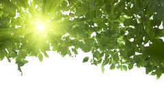 Sunshine from the leaf. Sunshine go throgh from the green leaf Stock Photography