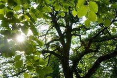 Sunshine through the leaves. Forest scene containing the sun shining through the leaves of 2 trees stock photo