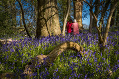 Sunshine through the leaves in bluebell woods in Dorset Stock Photography