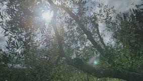 Sunshine Lens Flare throug Olive Tree in Tuscany. Medium wide handheld high dynamic range shallow depth of field slow motion tracking shot of the sun shining stock footage