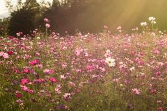 Sunshine is lighting from sky at Cosmos flower fields in the evening Royalty Free Stock Image