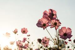 Sunshine is lighting from sky at Cosmos flower fields in the evening Royalty Free Stock Photography