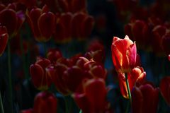 Sunshine lights up a tulip flower Stock Images