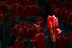 Sunshine lights up a tulip flower Stock Images