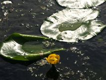 Sunshine on a lily pad. With flower Royalty Free Stock Photo