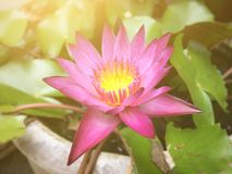Sunshine on lotus flower. Feeling relax for you royalty free stock photo