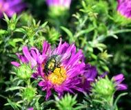 Sunshine on Lucilia sericata royalty free stock images