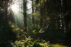 Sunshine in the magic forest Royalty Free Stock Images