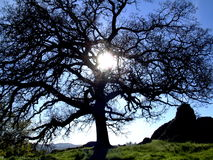 Sunshine through an oak tree. A low sun shines through an ancient oak tree.  Oak tree in silhouette with green California hills in the background Stock Photos