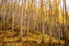 Sunshine On Aspen Glade Stock Images