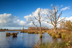 Sunshine over dry trees in bog Stock Photos