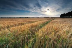 Sunshine over wheat field in summer Royalty Free Stock Photos