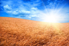 Sunshine over wheatfield Stock Images