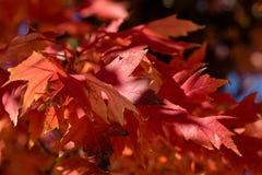 Sun Dappled Red Autumn Leaves Close-up stock photo