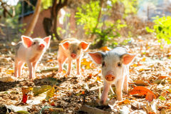 Sunshine piglets Royalty Free Stock Photo