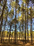 Sunshine in Pine Forest. Deep pine and fir forest landscape. royalty free stock photography