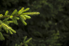 Sunshine on pine tree branch Stock Image