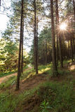 Sunshine through pine trees Stock Images