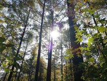 Sunshine in Pine Woods stock photography
