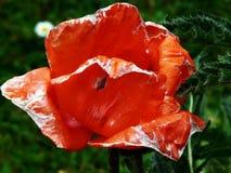 Sunshine Poppy Stock Image
