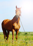 Sunshine portraiit of a brown horse Royalty Free Stock Image