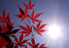 Sunshine an red Japanese maple. The sun shines brightly through red Japanese maple branches in a garden in the spring Royalty Free Stock Photos